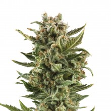 Royal Queen Seeds White Widow Automatic, autoflowering, cannabis seeds