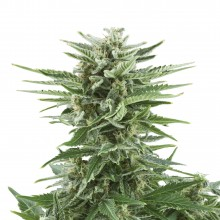 Royal Queen Seeds Easy Bud, autoflowering, nasiona marihuany
