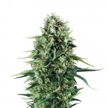Royal Queen Seeds Power Flower, indoor/outdoor, cannabis seeds