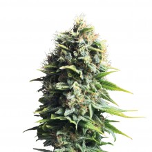 Royal Queen Seeds Pineapple Kush, indoor/outdoor, cannabis seeds
