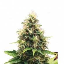 Royal Queen Seeds Somango XL, indoor/outdoor, cannabis seeds