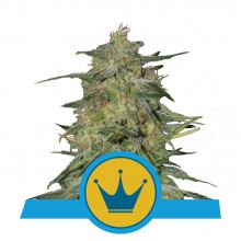 Royal Queen Seeds Royal Highness, CBD