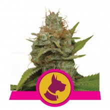 Royal Queen Seeds Kali Dog, indoor
