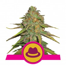 Royal Queen Seeds O.G. Kush, indoor/outdoor