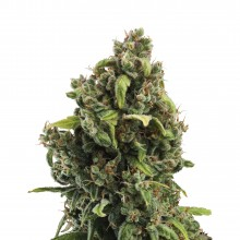 Royal Queen Seeds Candy Kush Express, indoor/outdoor