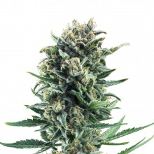 Royal Queen Seeds Blue Cheese, indoor/outdoor