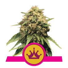 Royal Queen Seeds Special Queen 1, indoor, cannabis seeds