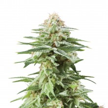 Royal Queen Seeds White Widow, indoor/outdoor
