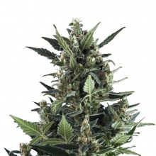 Royal Queen Seeds Blue Cheese, autoflowering