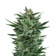 Royal Queen Seeds Quick One, autoflowering, nasiona marihuany