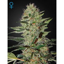 Green House Seeds Exodus Cheese Auto, autoflowering