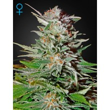 Green House Seeds Super Lemon Haze Auto, autoflowering