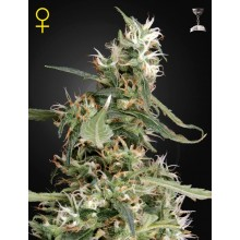 Green House Seeds Arjan's Ultra Haze 1, indoor