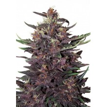 Buddha Seeds Purple Kush Auto, autoflowering, cannabis seeds