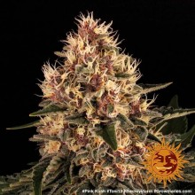 Barneys Farm Pink Kush, indoor