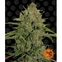 Barneys Farm Triple Cheese, indoor/outdoor
