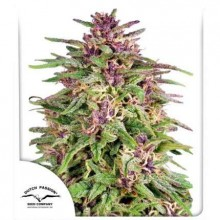 Dutch Passion Frisian Dew, outdoor