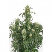 Dutch Passion The Ultimate, indoor, cannabis seeds