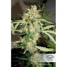 Dutch Passion CBD Auto White Widow, autoflowering, cannabis seeds