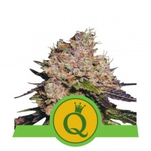 Royal Queen Seeds Purple Queen Automatic, autoflowering, nasiona marihuany