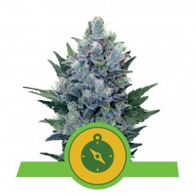 Royal Queen Seeds Northern Light Automatic, autoflowering, nasiona marihuany