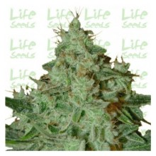 Life Seeds Lemon Skunk, indoor