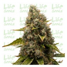 Life Seeds White Widow, indoor