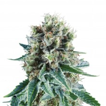 Royal Queen Seeds Bubble Kush Automatic, autoflowering, nasiona marihuany