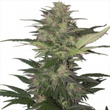 Buddha Seeds Red Dwarf Auto, autoflowering, cannabis seeds