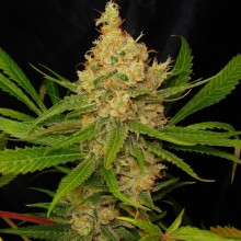 Green House Seeds Super Lemon Haze, indoor