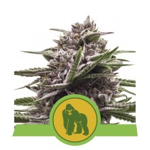 Royal Queen Seeds Royal Gorilla Automatic, autoflowering, cannabis seeds