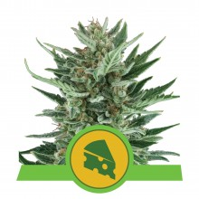 Royal Queen Seeds Royal Cheese Automatic, autoflowering