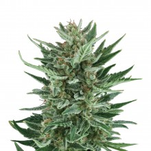 Royal Queen Seeds Royal Cheese Automatic, autoflowering, cannabis seeds